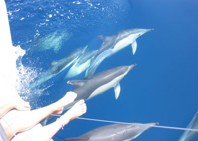 delfines en altamar catamaran dragon de oro