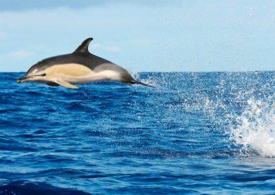 Foto del delfin Comun